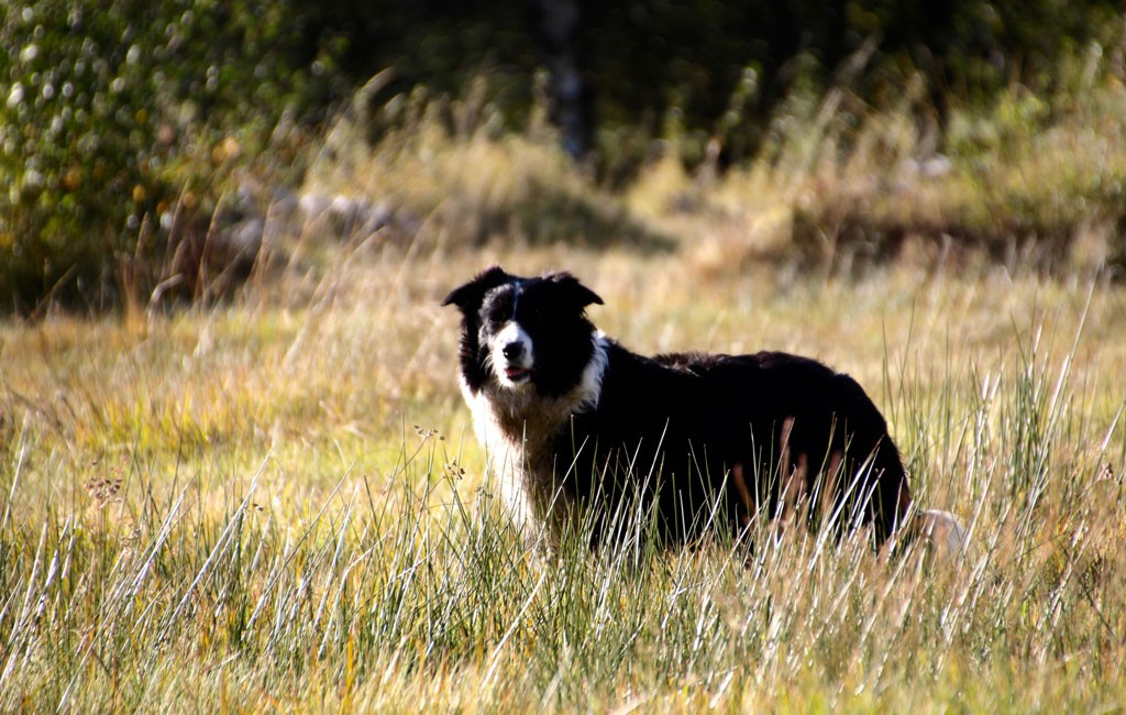 Border Collie Noa