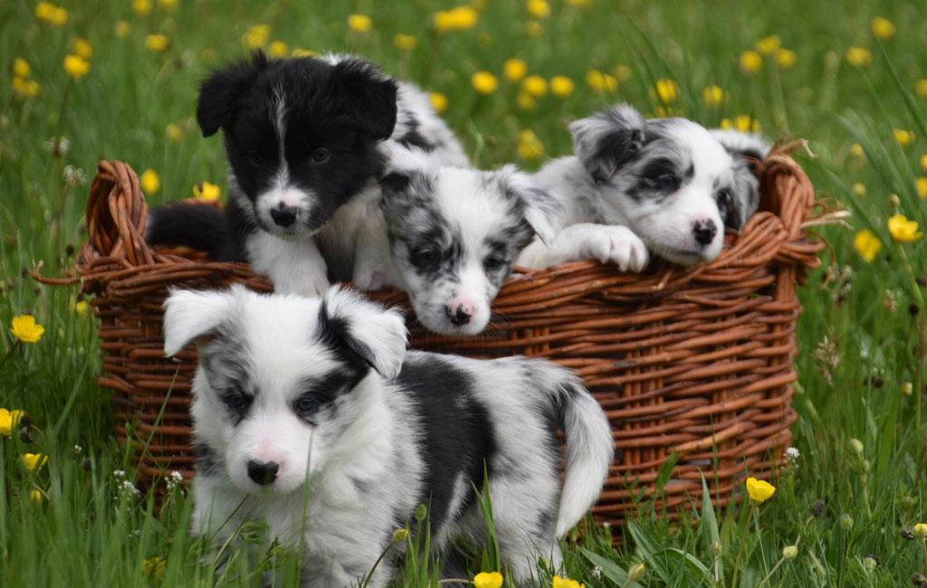Cachorros Border Collie Perros del Alta Sanabria