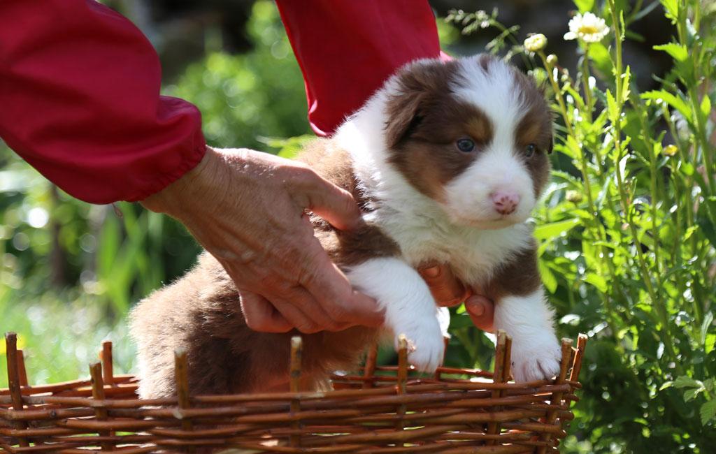 Cachorro Pastor Australiano de la Alta Sanabria