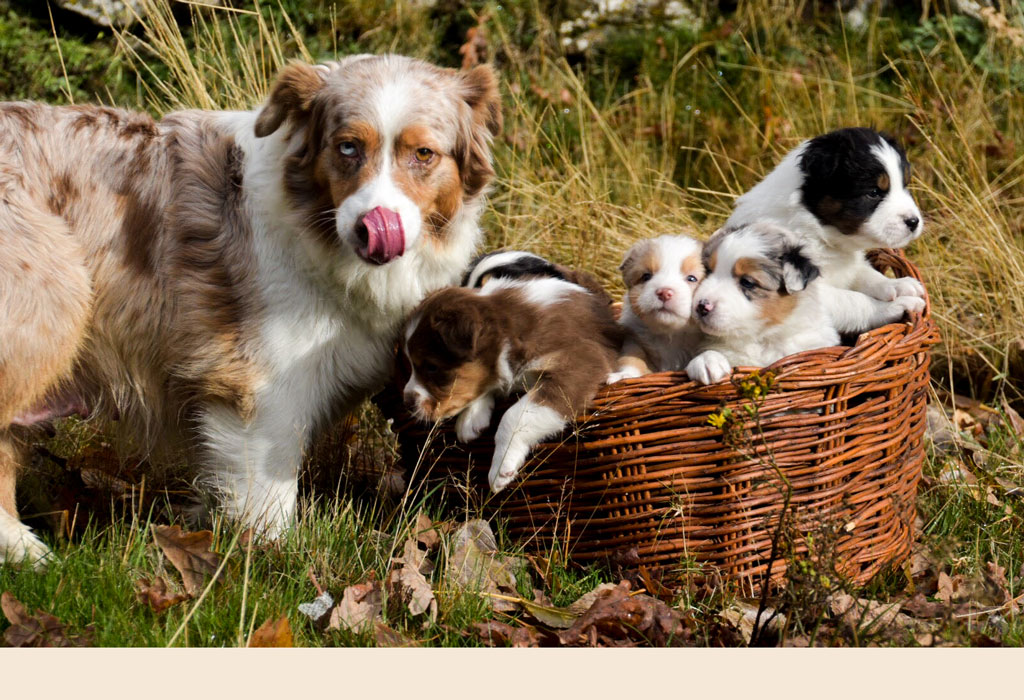Cachorros Pastor Australiano Del Alta Sanabria