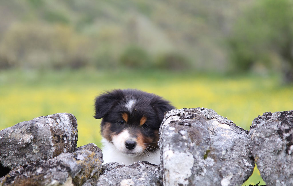 Cachorro Pastor Australiano Del Alta Sanabria